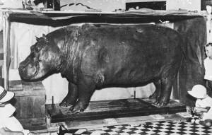 Hippo 11_resize