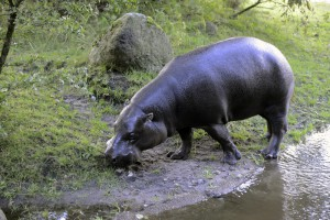 Hippo 12_resize