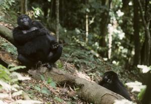 Females Mountain Gorilla, Gorilla beringei, resting, Bwindi National Park, Uganda. Hunner af Bjerggorilla, Gorilla beringei, hviler sig, Bwindi National Park, Uganda