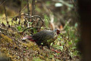 Nepal Blood Pheasant_resize
