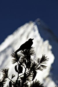 Large-billed Crow Annapurna_resize